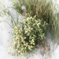 dunes grass square